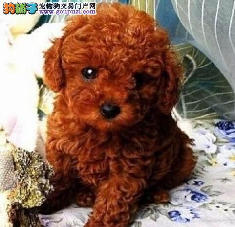 出售一窝纯种玩具型东莞泰迪幼犬 毛色火红 非常漂亮