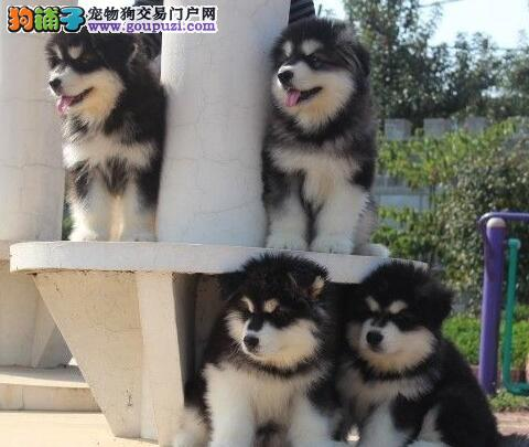 南京哪里有阿拉斯加出售 南京哪里能买健康的宠物狗