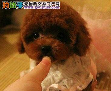 出售呼和浩特本地家养纯种玩具型泰迪宝宝 可见狗父母