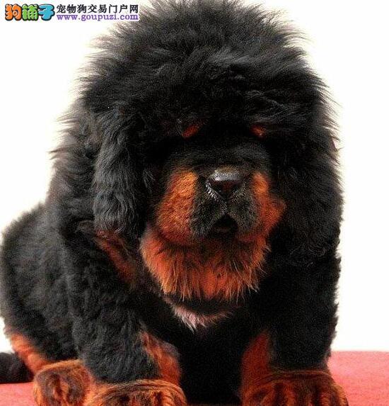 权威机构认证犬舍 专业培育藏獒幼犬签订终身协议