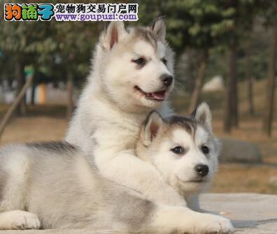 呼和浩特CKU犬舍出售纯种哈士奇幼犬 可办理证书+芯片