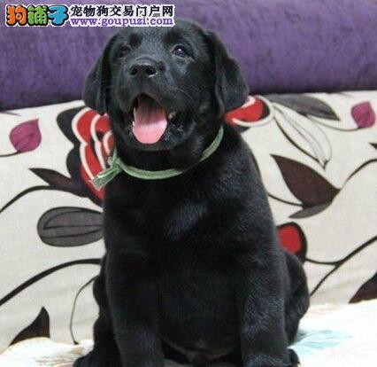 出售拉布拉多幼犬 一宠一证视频挑选 专业信誉服务