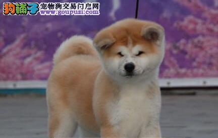 纯种秋田犬出售、真实照片视频挑选、签订终身合同