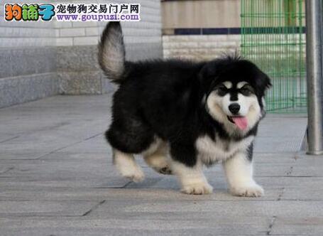 阿拉斯加犬找新家,品质第一价位最低,提供养护指导