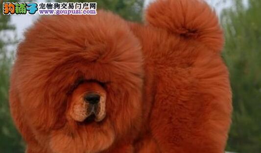 天津出售高贵气质纯种藏獒幼犬 王者风范 大狮头大长毛