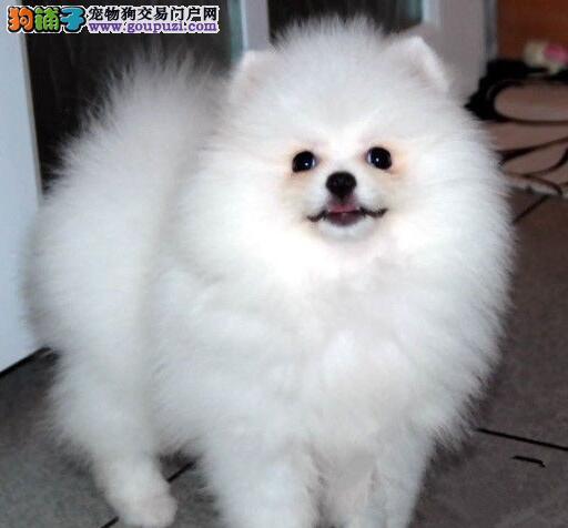 青岛养殖场低价出售博美犬 欢迎上门挑选看种犬