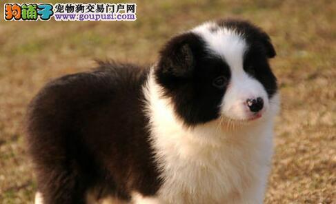 青岛实体狗场出售智商第一的边境牧羊犬 可视频看狗