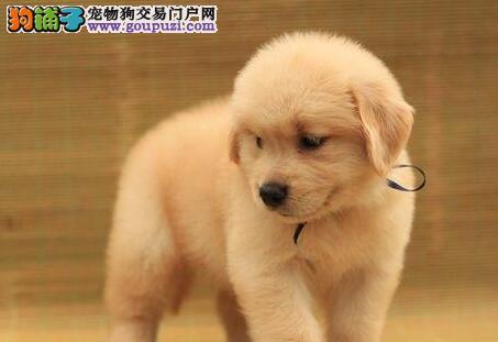 色泽金黄品相极佳的青岛金毛犬找新家 质保终身