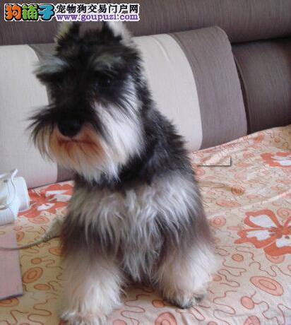 顶尖雪纳瑞幼犬拥有极佳品质 西城等你抱回家 欢迎上门
