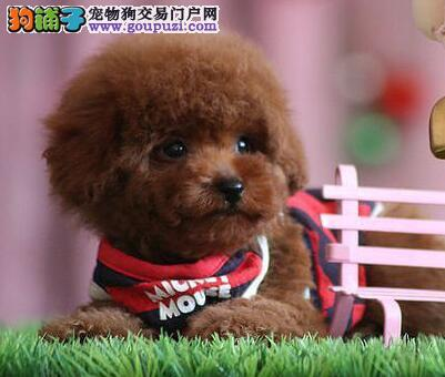 咸阳犬舍低价热销 泰迪犬血统纯正品相一流疫苗齐全
