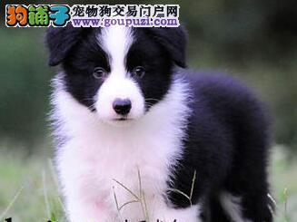 纯血统边境牧羊犬幼犬,CKU认证犬舍,三年联保协议