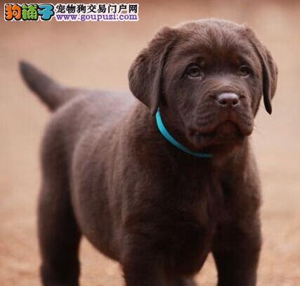 广东出售拉布拉多幼犬品质好有保障签订保障协议