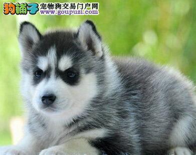 国际注册犬舍 出售极品赛级哈士奇幼犬优质售后服务