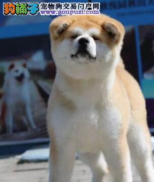 低价转让赛级日系太原秋田犬毛色亮丽带芯片