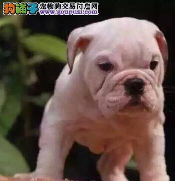 转让自家繁殖的广州斗牛犬 无泪痕品相好 速来选购