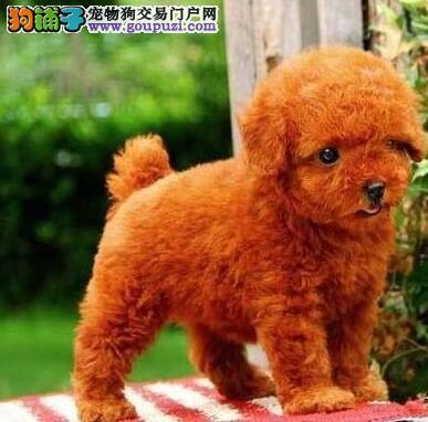 家养赛级贵宾犬宝宝品质纯正终身质保终身护养指导