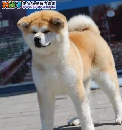 专业繁殖 秋田犬 价钱低 血统证书芯片齐全