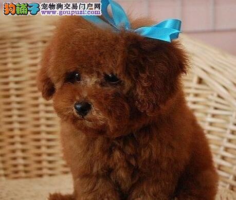 买赛级贵宾犬 玩具/茶杯体泰迪熊幼犬 多色 纯种健康