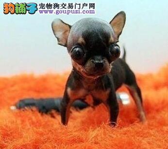 出售吉娃娃幼犬品质好有保障赛级品质血统保障