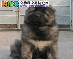 熊版深圳高加索幼犬超低价出售 接纳顾客一切建议