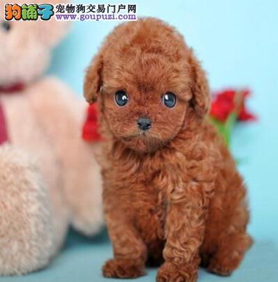 重庆贵宾幼犬价格重庆贵宾幼犬多少钱
