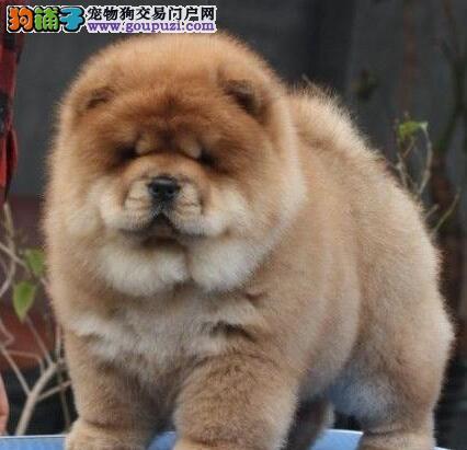 出售毛色好品相极佳的深圳松狮犬 1~3窝供您选择