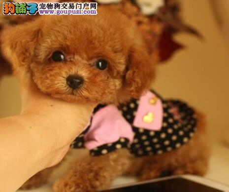 欢迎来深圳养殖基地购买纯种贵宾犬 身体健康保证健康