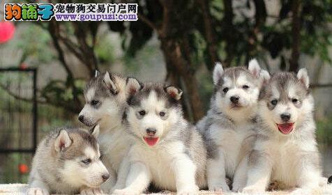CKU认证犬舍 专业出售极品 哈士奇幼犬可签合同刷卡