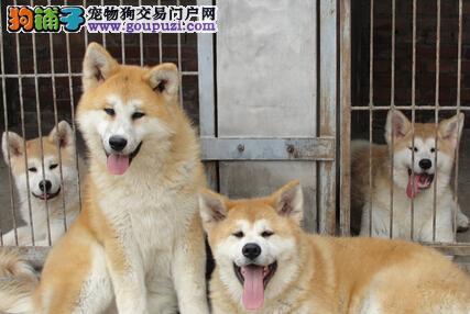 纯种八公效忠犬秋田苏州狗场待售 上门看狗送用品配套