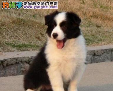 纯种边牧苏州特价销售 最聪明的小狗 上门看狗包你满意