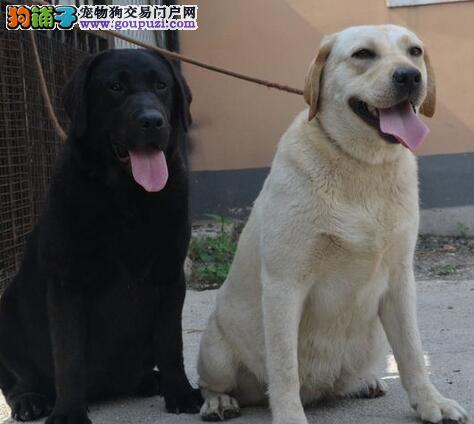 郑州自家狗场繁殖直销拉布拉多幼犬微信选狗直接视频