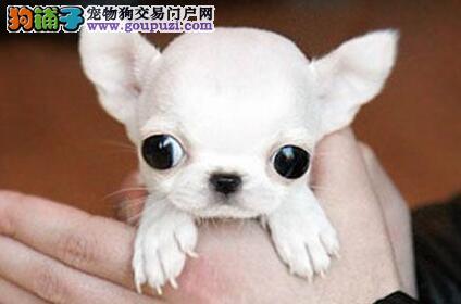 活泼勇敢的上海吉娃娃找爸爸妈妈 爱狗人士优先选购