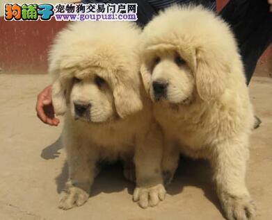 天津明星犬业出售国际标准藏獒一窝