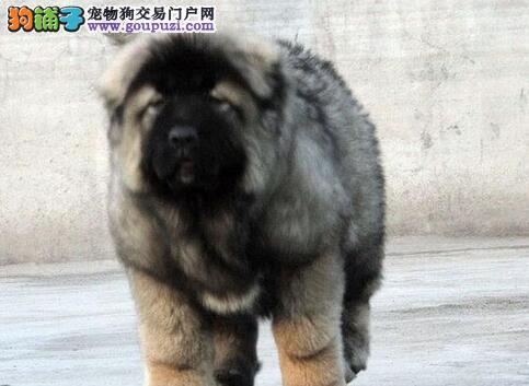 三个月的北京高加索犬求好心人士选购 放心选购爱犬