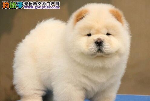 出售极品松狮幼犬完美品相终身售后送货