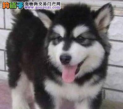 英俊潇洒帅气的哈尔滨阿拉斯加犬找新家 狗贩子勿扰