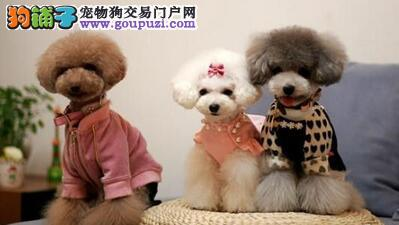 精品玩具茶杯血系兰州泰迪犬出售 质量三包 完美售后
