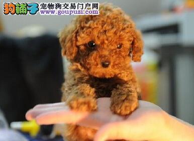 萌宝贝!家养玩具诱惑版泰迪崽崽转让!5只可选!