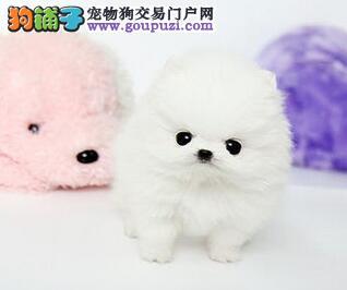 颜色全品相佳的博美犬纯种宝宝热卖中当日付款包邮