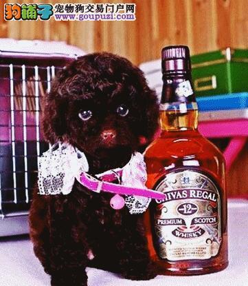 出售家养纯种杭州泰迪犬 苹果脸纽扣眼 完美品相