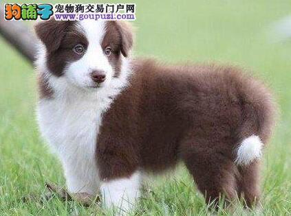 CKU认证犬舍 专业出售极品 边境牧羊犬幼犬全国十佳犬舍