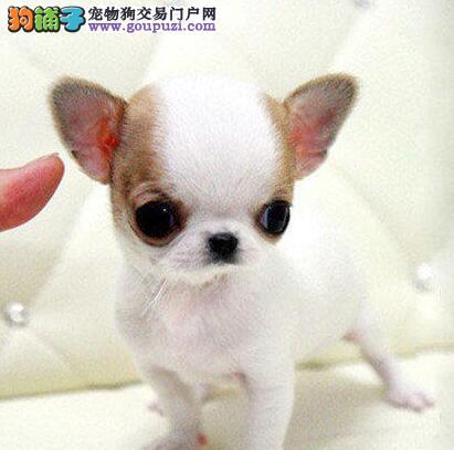 纯种墨西哥血统吉娃娃低价转让 重庆同城可免费送狗
