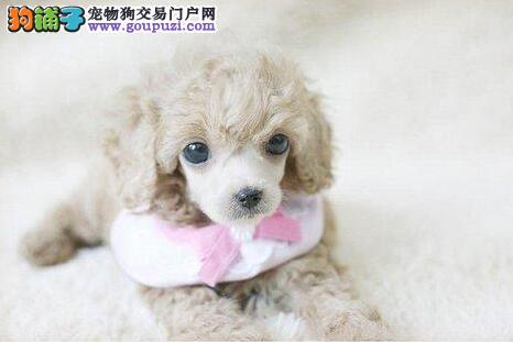 赛级品质纯种韩系贵宾犬热卖 欢迎来贵阳可上门挑选