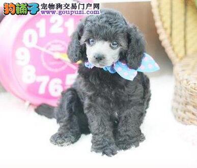 家养红玩具贵宾,泰迪熊出售。狗在深圳。可视频看狗