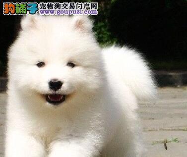 出售纯种健康成都萨摩耶 狗场包售后可签协议