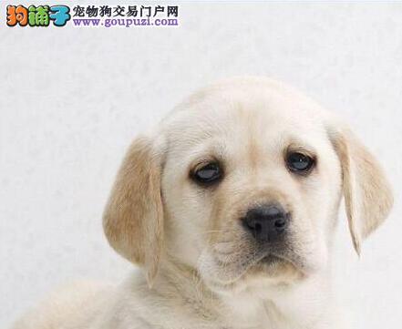 转让自家繁殖的东莞拉布拉多犬 三个月内免费退换