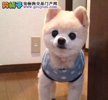公母均有的郑州博美犬找爸爸妈妈欢迎您的光临