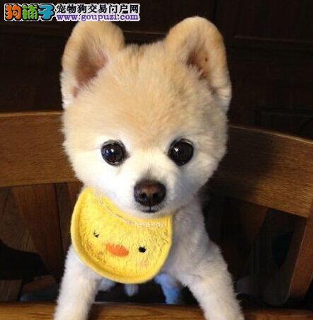 东莞犬舍出售袖珍体型的博美犬 不纯种不要钱