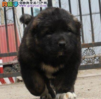 出售天津高加索专业缔造完美品质优惠出售中狗贩子勿扰