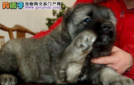 高大威猛的东莞高加索犬热卖中 可办理CKU血统证书